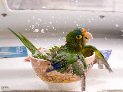 Купающийся попугай