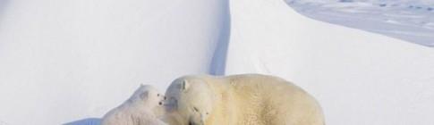 polar-bears-01