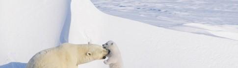 polar-bears-03