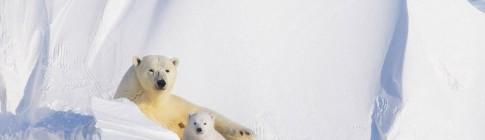 polar-bears-04