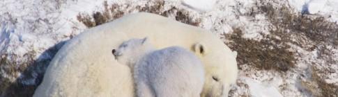 polar-bears-05